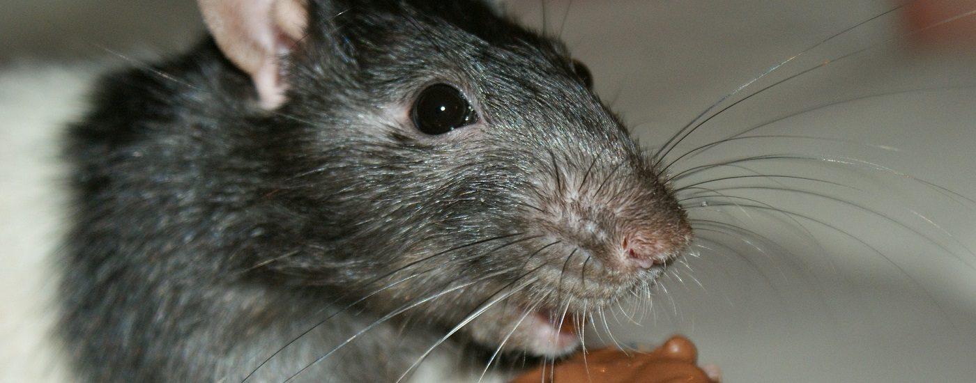 Eine Ratte frisst Nutella