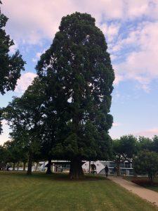 Auf dem Foto ist ein Mammutbaum zu sehen in Rüdesheim am Rhein